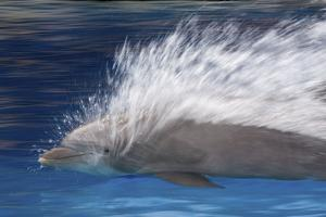 Bottlenose Dolphins Swimming at Speed Through Water by Augusto Leandro Stanzani