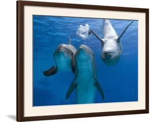 Bottlenose Dolphins, Three Playing Underwater by Augusto Leandro Stanzani