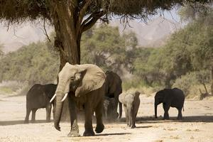 Desert Elephants, Family Finding Shade by Augusto Leandro Stanzani