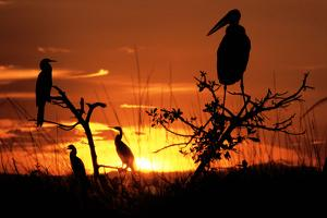 Marabou Stork at Sunset by Augusto Leandro Stanzani