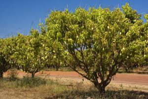 Australian Kensington Mango Orchard with Immature
