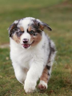 Australian Sheepdog, Shepherd Dog