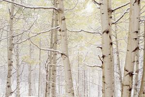 Autumn Aspens With Snow, Colorado, USA