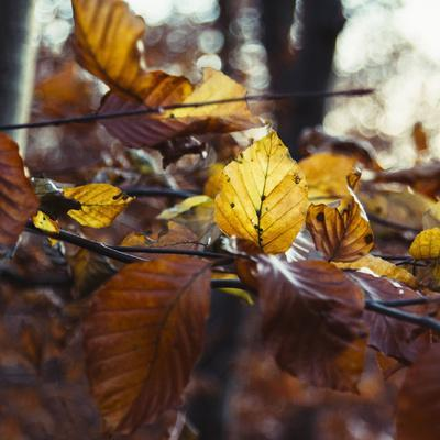 https://imgc.allpostersimages.com/img/posters/autumn-foliage-of-the-beech_u-L-Q1EXKZB0.jpg?artPerspective=n