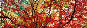 Autumn Leaves, Westonbirt Arboretum, Gloucestershire, England