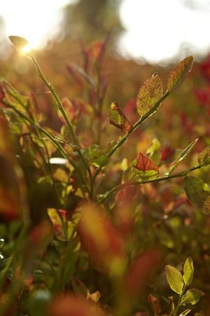 https://imgc.allpostersimages.com/img/posters/autumn-shrubs-back-light-dalsland-sweden_u-L-Q1EXTDR0.jpg?artPerspective=n