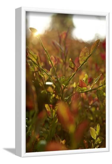 Autumn shrubs, back light, Dalsland, Sweden-Andrea Lang-Framed Photographic Print