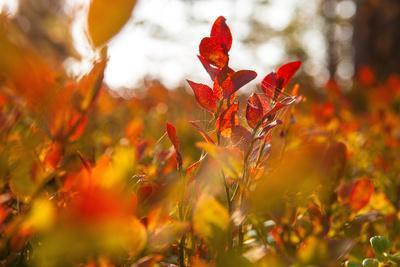 https://imgc.allpostersimages.com/img/posters/autumn-shrubs-dalsland-sweden_u-L-Q1EXUD70.jpg?artPerspective=n
