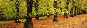Autumn Trees in a Park, Clumber Park, Nottinghamshire, England