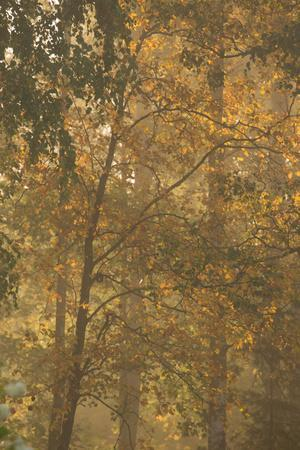 https://imgc.allpostersimages.com/img/posters/autumnal-deciduous-trees-in-foggy-morning_u-L-Q1EXWMZ0.jpg?artPerspective=n