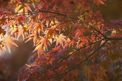 https://imgc.allpostersimages.com/img/posters/autumnal-maple-leaves-kyoto-japan_u-L-PWFHKT0.jpg?p=0
