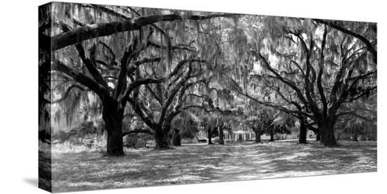Avenue of oaks, South Carolina--Stretched Canvas Print