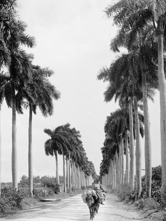 Avenue of Palms, Havana