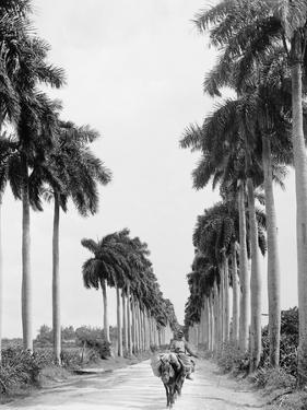 Avenue of Palms, Havana