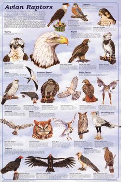 Avian Raptors Birds Of Prey Educational Science Chart Poster