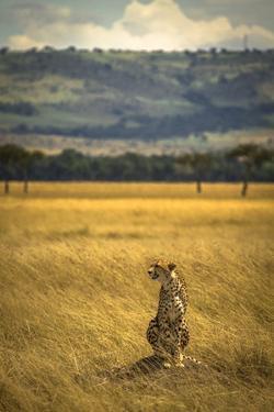 A Cheetah Watching His Surrounding In The Maasai Mara, Kenya by Axel Brunst
