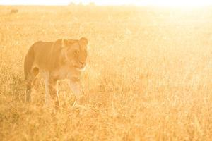 A Female Lion In The Warm Morning Light. Location: Maasai Mara, Kenya by Axel Brunst