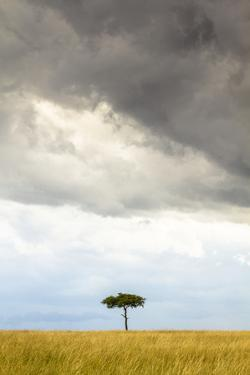 A Secluded Acacia Tree Against The Spectacular Sky In The Maasai Mara, Kenya by Axel Brunst