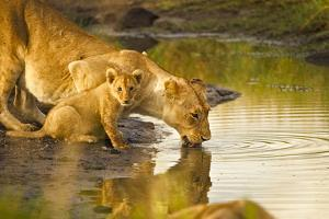 Female Lion and Cub Drinking at a Water Hole in the Maasai Mara, Kenya by Axel Brunst