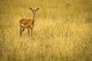 Focused Gazelle in the Veldt of the Maasai Mara, Kenya by Axel Brunst