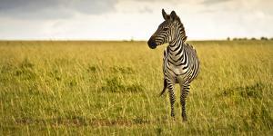 Lonely Zebra Standing in the Veldt of the Maasai Mara, Kenya by Axel Brunst