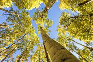 Telluride, Colorado, USA: Autumn Colored Birch Trees On A Beautiful Sunny Fall Day by Axel Brunst