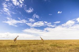 Two Giraffes Under The Dark Blue Sky In The Maasai Mara, Kenya by Axel Brunst