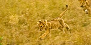 Two Lion Cubs Playing in the Veldt of the Maasai Mara, Kenya by Axel Brunst