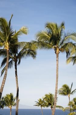 Wailea Beach Marriott Resort And Spa, Maui, Hawaii, USA: Palm Trees At The Resort by Axel Brunst