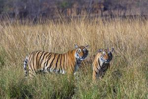Female tiger with large cubs, Ranthambhore National Park, Rajasthan, India, by Axel Gomille