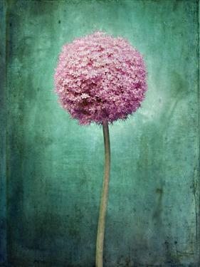 Allium, Flower, Blossom, Still Life, Allium Giganteum, Pink, Turquoise by Axel Killian