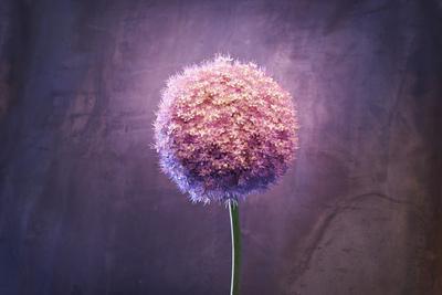 Allium, Flower, Blossom, Still Life, Allium Giganteum, Pink