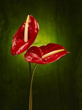 Anthurium, Flower, Blossoms, Still Life, Red, Green by Axel Killian