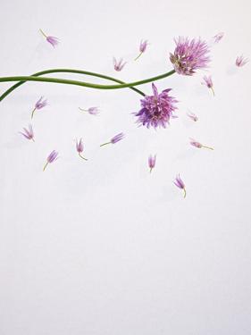 Chives, Allium, Allium Schoenoprasum, Stalks, Green, Blossoms, Chives Blossom by Axel Killian