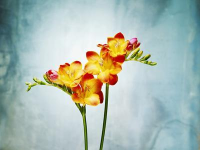 Freesia, Flower, Blossoms, Buds, Still Life, Red, Yellow, Blue