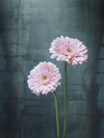 Gerbera, Flowers, Blossoms, Pink, Still Life