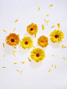 Marigold, Calendula Officinalis, Blossoms, Petals, Orange, Still Life by Axel Killian
