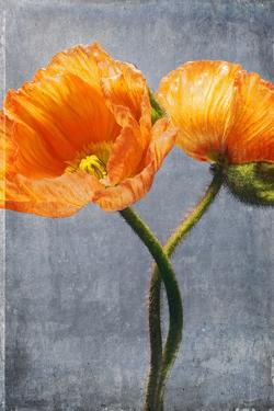 Poppy, Blossoms, Still Life by Axel Killian