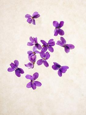Sweet Violets, Violets, Viola Odorata, Blossoms, Violet by Axel Killian