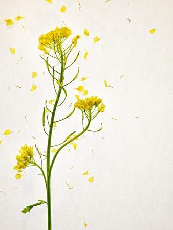 White Mustard, Mustard, Sinapis Alba, Stalk, Blossoms, Yellow