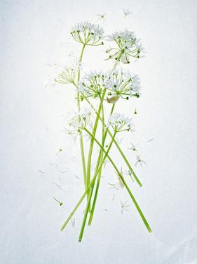 Wild Garlic, Allium Ursinum, Blossom, Green, White, Blossom by Axel Killian