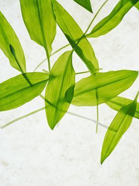 Wild Garlic, Allium Ursinum, Leaves, Green by Axel Killian