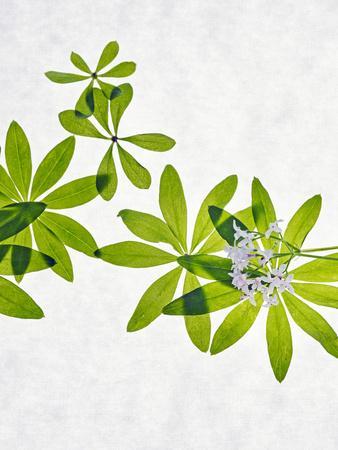 Woodruff, Galium Odoratum, Leaves, Green, Blossom