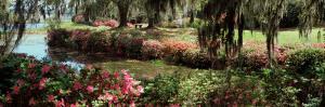 Azaleas and Willow Trees in a Park, Charleston, Charleston County, South Carolina, USA