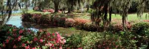 Azaleas and Willow Trees in a Park, Charleston, Charleston County, South Carolina, USA