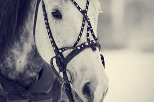Muzzle of A White Horse in A Harness. by AZALIA