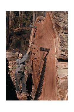 """A """"Chopper"""" with His Tools Next to a Giant, Fallen Redwood Tree by B. Anthony Stewart"""