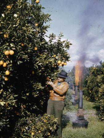 Oil Heaters are Used to Battle Frost in California's Citrus Groves by B. Anthony Stewart