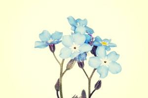Forget-Me-Not Close Up by B-D-S