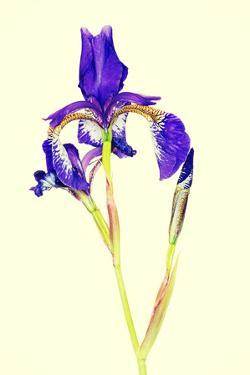 Iris by B-D-S